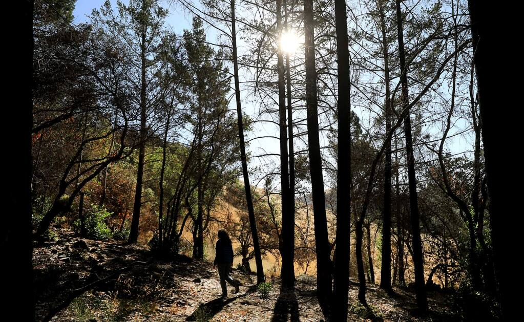Caitlin Cornwall of the Sonoma Ecology Center surveys a grove of timber in Sugarloaf Ridge State Park, which was burned last October in the Nuns fire, on Sept. 13, 2018. (Kent Porter/The Press Democrat)