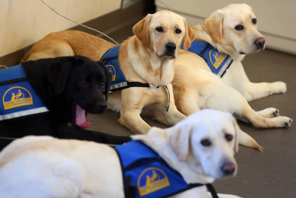 PHOTO: 1 BY CHRISTOPHER CHUNG/ THE PRESS DEMOCRAT -Several service dogs in training await their turn at Canine Companions for Independence, in Santa Rosa.