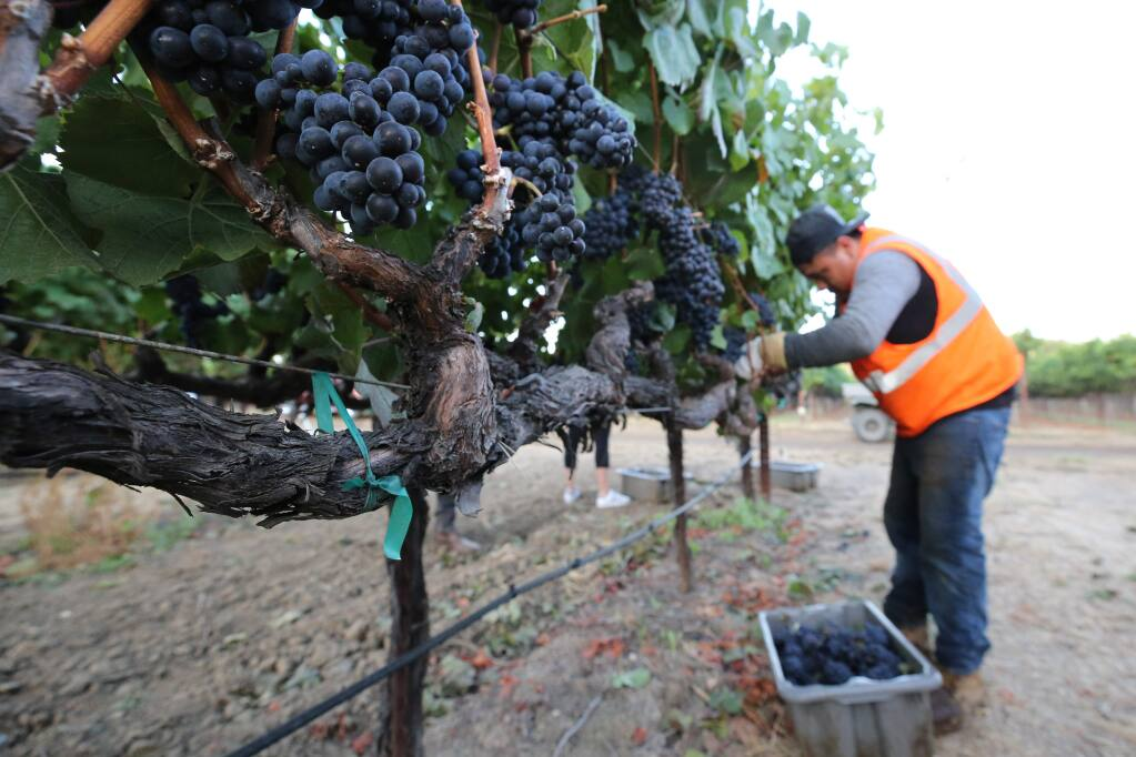 Julio Martinez harvests pinot noir grapes in Rodgers Vineyard for Mumm Napa in Yountville, California on Tuesday, August 13, 2019. (BETH SCHLANKER/The Press Democrat)