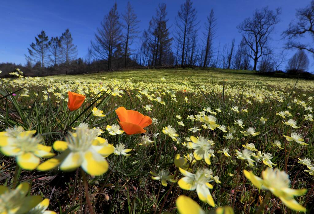 California Poppies join in the colorful cacophony of wildflowers rising from the ashes of the burned landscape at Pepperwood Preserve, Monday, March 26, 2018 near Santa Rosa. (Kent Porter/ Press Democrat)