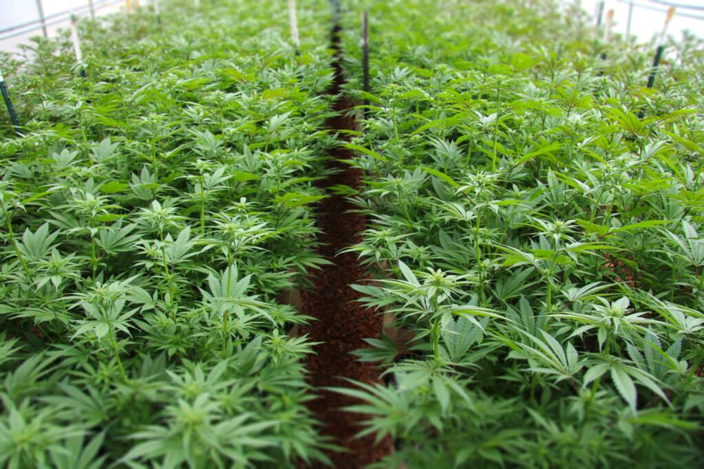Marijuana plants in early June 2017 at a remote Mendocino county farm. (Heather Irwin/PD)