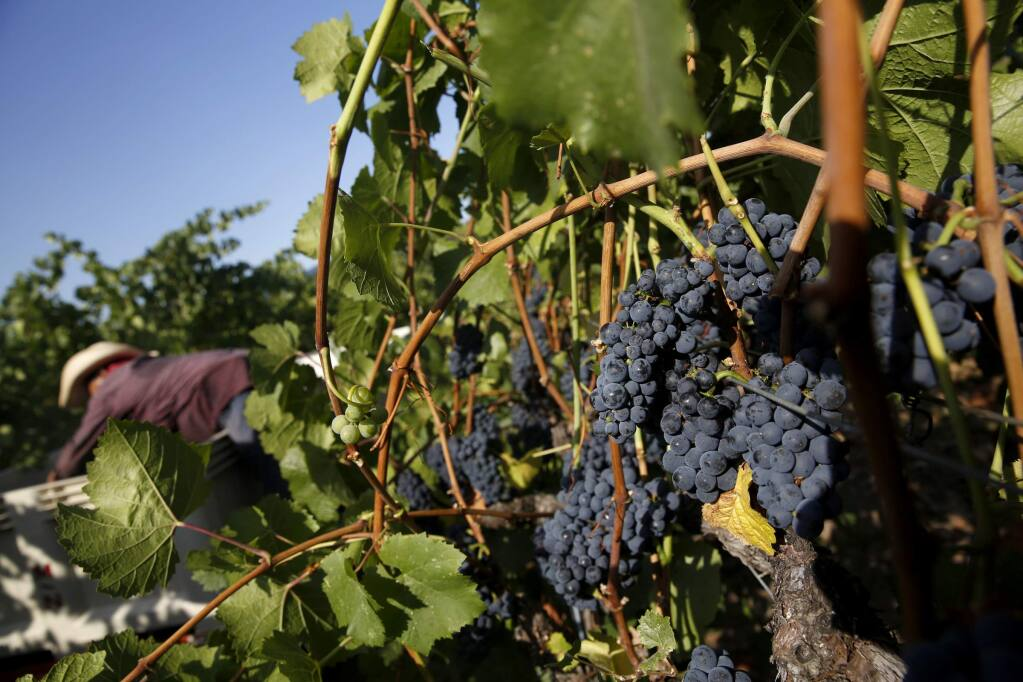 Pinot noir grapes now cover more acreage in Sonoma County than cabernet sauvignon, second only to chardonnay. (BETH SCHLANKER/ PD archive)