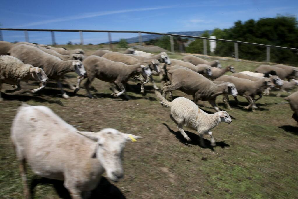Sheep from Sweetgrass Grazing run down a hill at Helen Putnam Regional Park in Petaluma, California on Tuesday, May 5, 2020. (BETH SCHLANKER/ The Press Democrat)