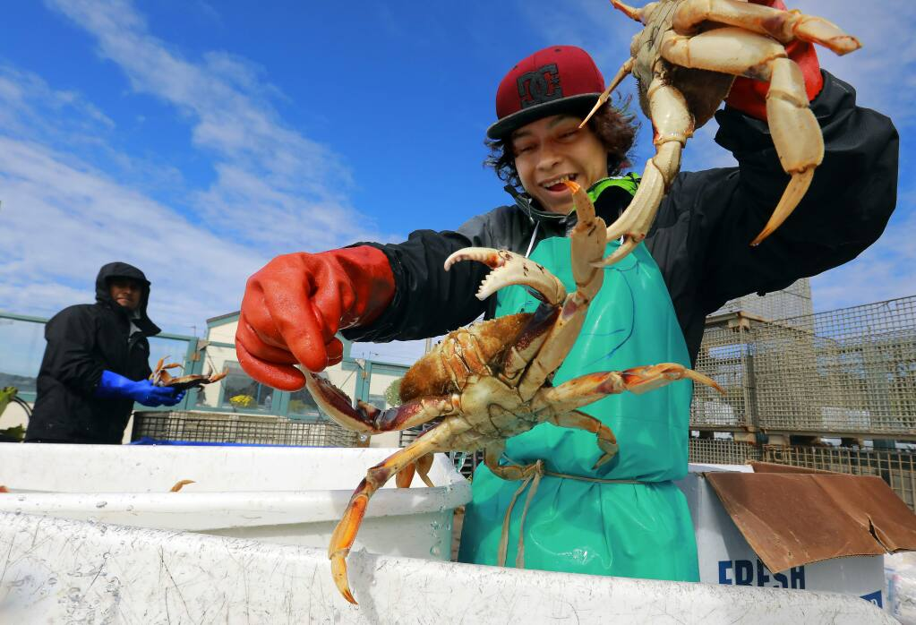 Christian Santos separates larger crabs from the daily catch at the Tides Wharf Wholesale Fish company in Bodega Bay on Wednesday. (photo by John Burgess/The Press Democrat)