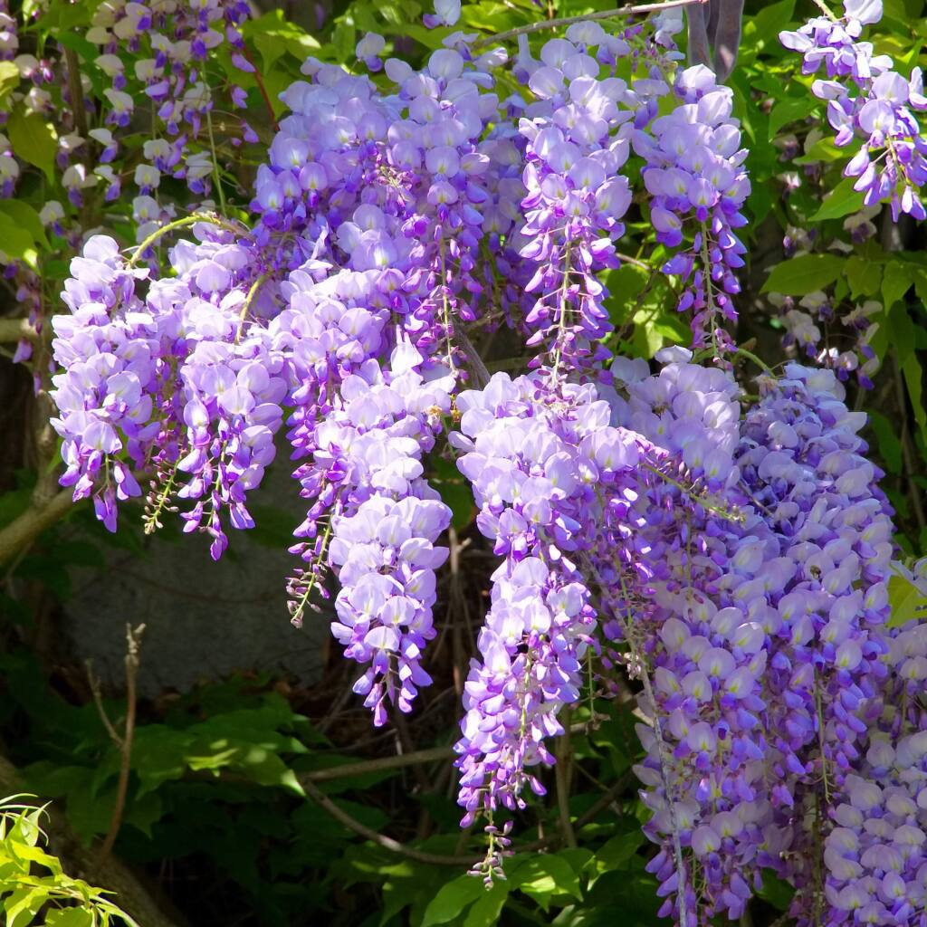 Garden Docs Protect Your Wisteria By Preventing These Ugly Growths