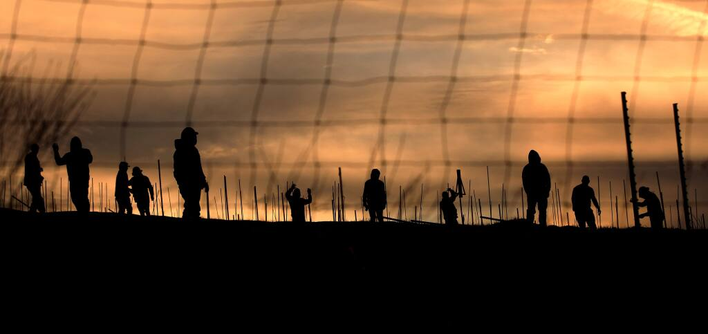 Vineyard workers place stakes in a new vineyard on Nelligan Road at sunrise, Thursday, Jan. 23, 2020 near Kenwood. (Kent Porter / The Press Democrat) 2020