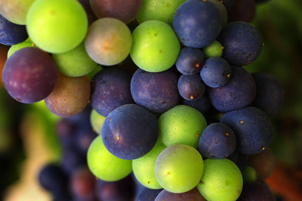 Ripening pinot noir grapes at Rodney Strong Vineyards. (JOHN BURGESS / The Press Democrat)
