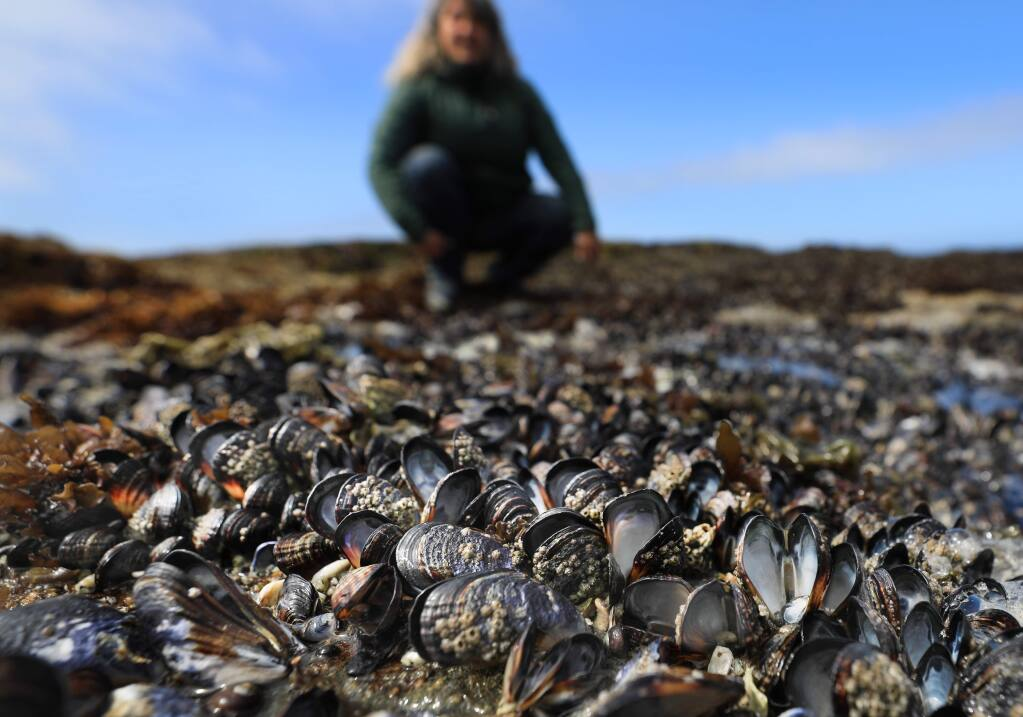 Jackie Sones, Bodega Marine Reserve research coordinator, overlooks a bed of dead mussels that were fried during the June heat wave, Tuesday, July 2, 2019. The high temperatures and the mussels black shells leads to more absorption of sunlight. (Kent Porter / The Press Democrat) 2019