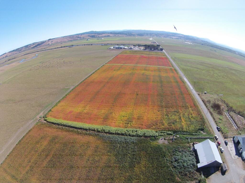 Quinoa under cultivation by Lundberg Family Farms. The company, with estimated revenue (estimate by Business Journal) of $120 million, has 800 acres already in quinoa production. (Lundberg Family Farms, 2016)