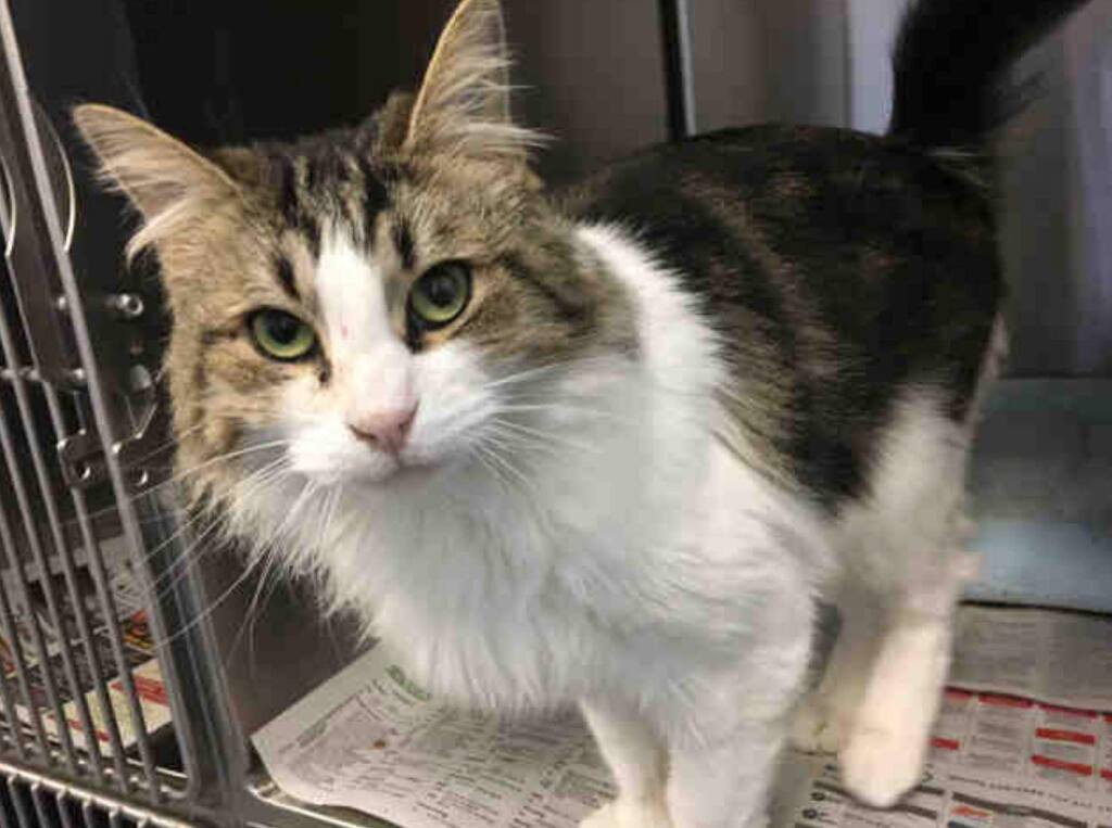 Is this your cat? Call Sonoma County Animal Services at (707) 565-7100. Ask for information about animal ID number A362600. Please visit pd2go.net/FireMissingFoundPets so that you can be connected. (Sonoma & Napa Fires Missing and Found Pets)