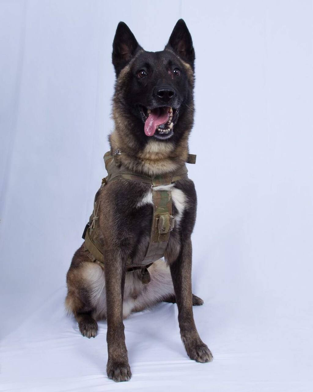 In this photo provided by the White House via the Twitter account of President Donald Trump after it was declassified by Trump, a photo of the military working dog that was injured tracking down Abu Bakr al-Baghdadi in a tunnel beneath his compound in Syria. Joint chiefs Chairman Gen. Mark Milley told reporters Monday that the animal 'performed a tremendous service' and said the dog was 'slightly wounded' but is now recovering and has returned to duty at an undisclosed location. The dog's name remains classified. (White House via AP)
