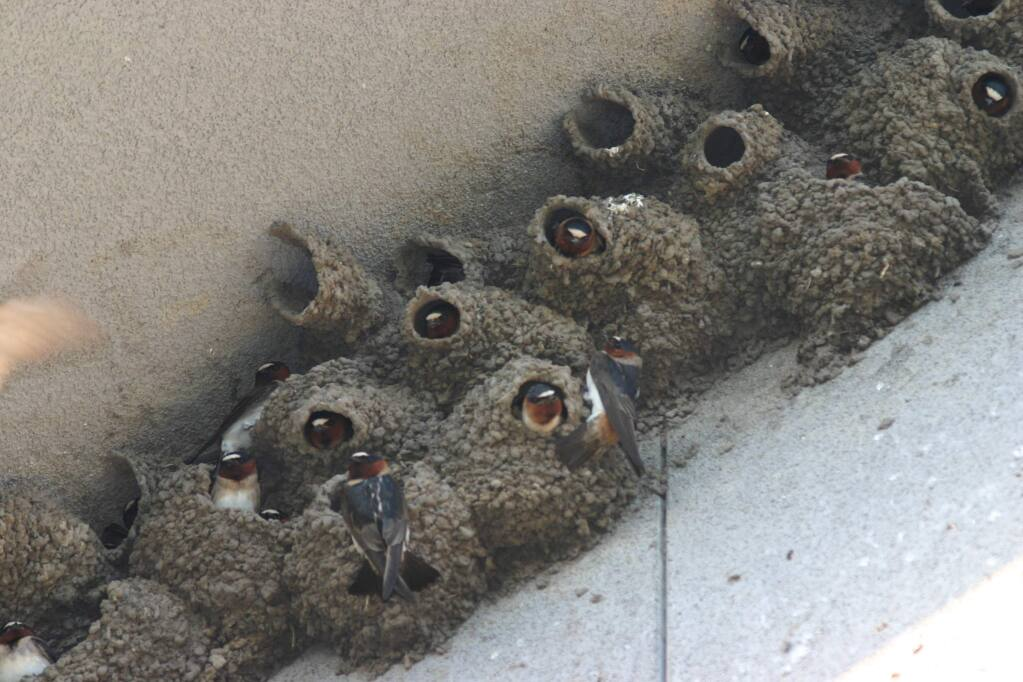 Photo courtesy of Veronica Bowers, Native Songbird Conservation & Care.This photo from an earlier season shows the cliff swallow colony that for more than 15 years has nested under the eaves at the Sebastopol Community Center Youth Annex. This year's nests were destroyed by a public works employee during nesting season in early May.