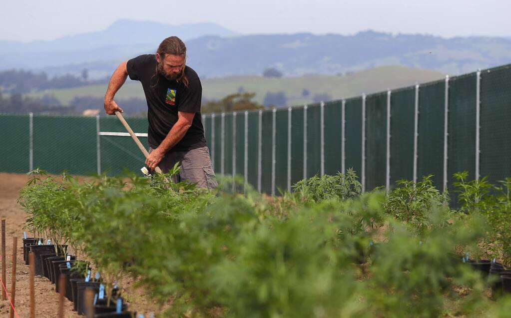 Petaluma Hill Farms co-owner David Drips digs holes to plant cannabis near Petaluma on Friday, March 30, 2018. (CHRISTOPHER CHUNG/ PD)