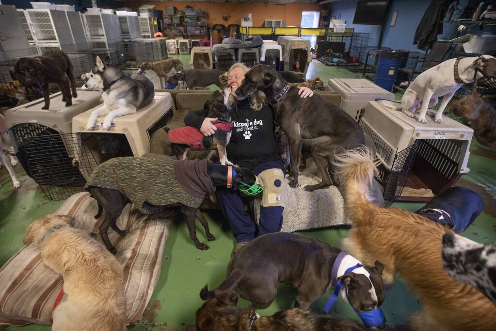 Green Dog Rescue Project executive director Colleen Combs greets about 100 rescue and daycare dogs in their free range dog care business in Windsor. The group will travel to Japan next week to teach how to do away with kennels by listening to the dogs. (photo by John Burgess/The Press Democrat)