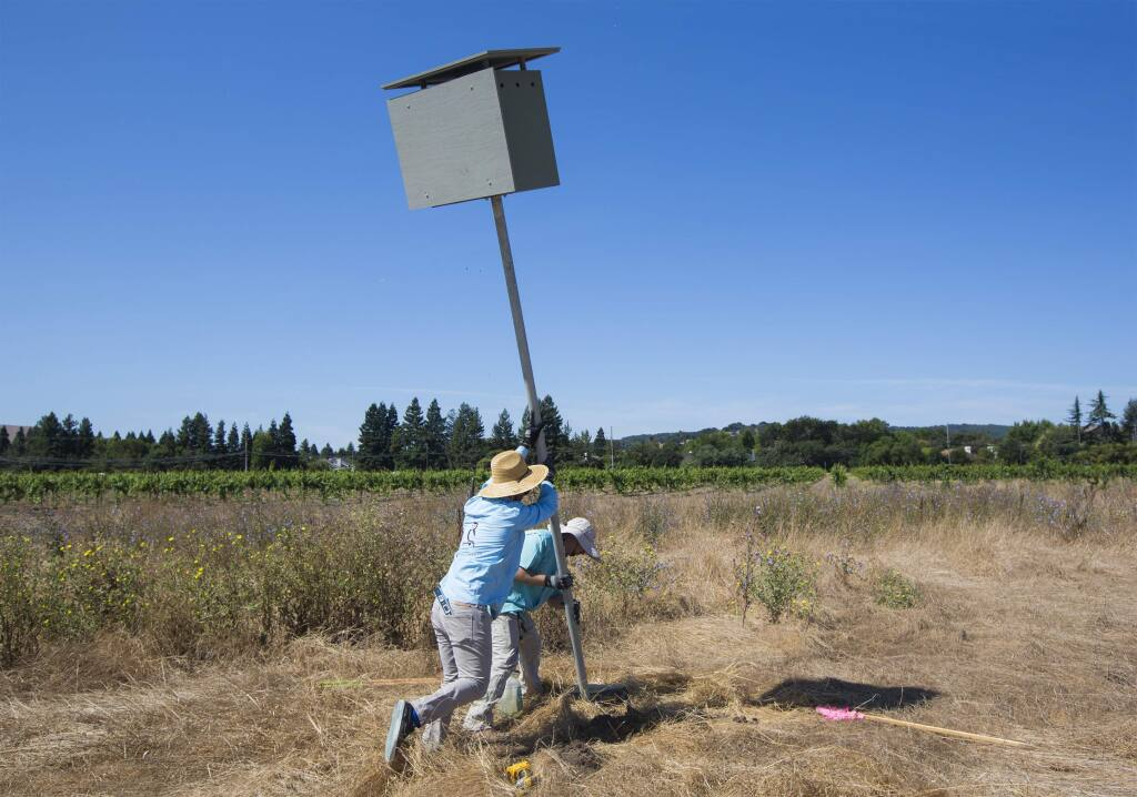 From left, Michael McGuire and Ian Davis hoist a barn owl box on Thursday, Aug. 8, in Sam Sebastian's vineyard, La Chertosa, between Arnold Drive and Watmaugh Road. Barn owls - silent, low-flying predators of the night - hunt mostly the rodents that can devastate the agricultural community. To help protect vineyard crops, five barn owl boxes were installed in the La Chertosa vineyard by the Barn Owl Maintenance Program (BOMP), under the aegis of Sonoma County Wildlife Rescue, (Photo by Robbi Pengelly/Index-Tribune)