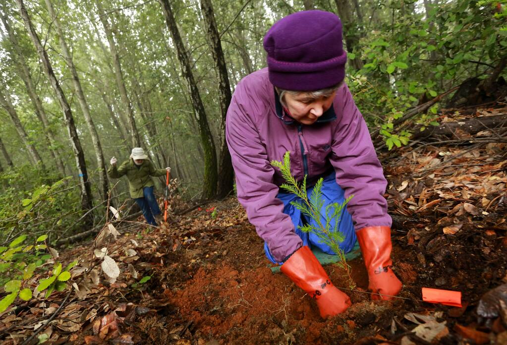 Sue Bates-Pintar packs in dirt around the redwood tree she planted in the forest west of Cazadero. In their 19th year, Forest Unlimited volunteers hope to plant 1,300 trees . (JOHN BURGESS / The Press Democrat)