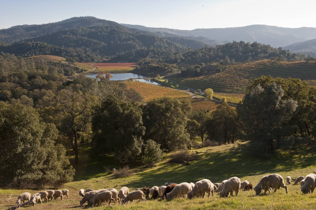 View of Somerston Wine Company's estate vineyard with sheep grazing on the 1,600-acre property in east Napa County on Nov. 16, 2009. (courtesy photo)