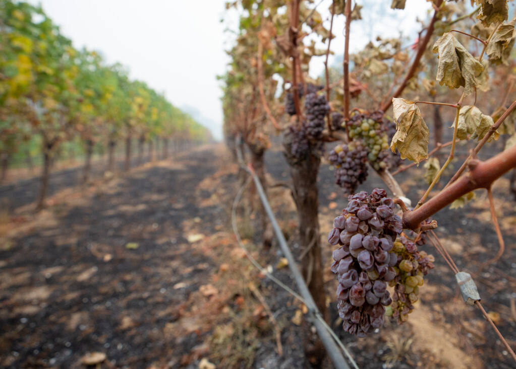 Grapes burned by the Glass Fire still hang from some of the vines at Spring Mountain Vineyards in St. Helena, California, on Friday, October 2, 2020. (Alvin A.H. Jornada / The Press Democrat)