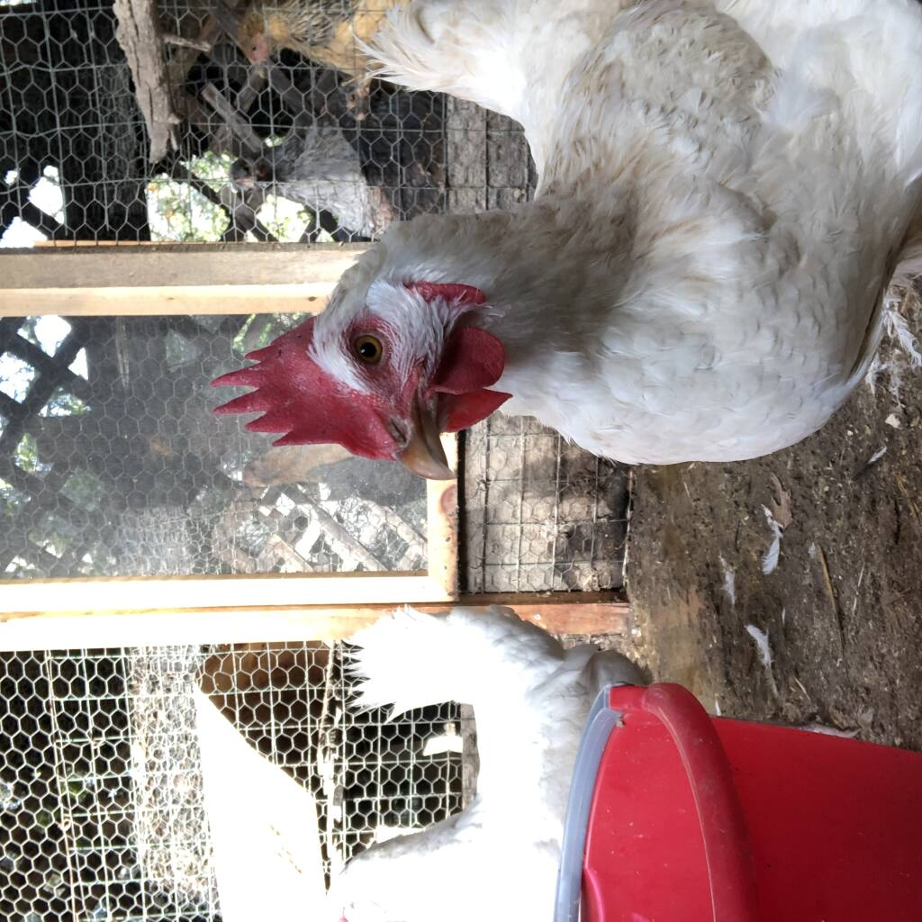 ISOThrive aims to help chickens' digestive tracts. Photo courtesy of ISOThrive