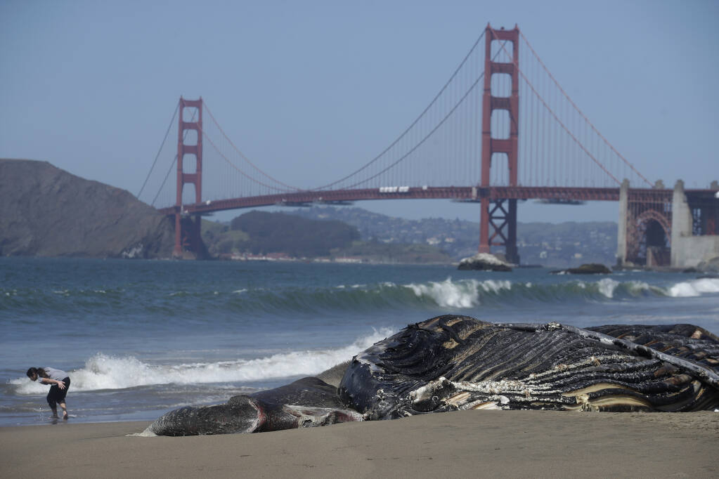 FILE - In this Tuesday, April 21, 2020, file photo, a dead humpback whale is shown in front of the Golden Gate Bridge at Baker Beach in San Francisco. A fifth dead whale has been discovered in less than a month around San Francisco Bay. The whale was discovered near Fort Funston on Friday, April 23. A cause of death has yet to be determined. April is the beginning of the gray whale's northern migration, so finding dead whales near the bay is not unusual, but experts were especially concerned when, a few weeks ago, four dead whales were found in the span of nine days. (AP Photo/Jeff Chiu, File)