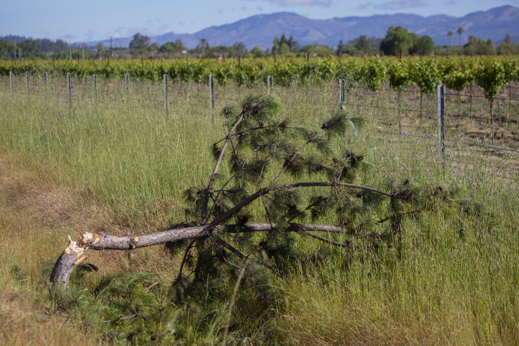 Over the weekend, it was discovered that the  tree affectionately named Arnold (for its location on Arnold Drive, near Watmaugh Road) has been felled by persons unknown.   (Robbi Pengelly/Sonoma Index-Tribune)
