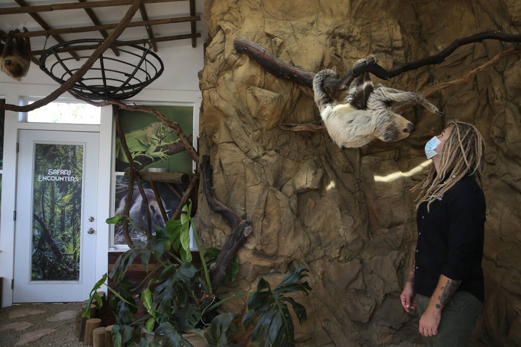 Safari Encounters Program Director Daniel Moore interacts with Sid, a Linnaeus' two-toed sloth, at the Sonoma Sloth House in Rohnert Park on Monday, Nov. 2, 2020. (Beth Schlanker / The Press Democrat)