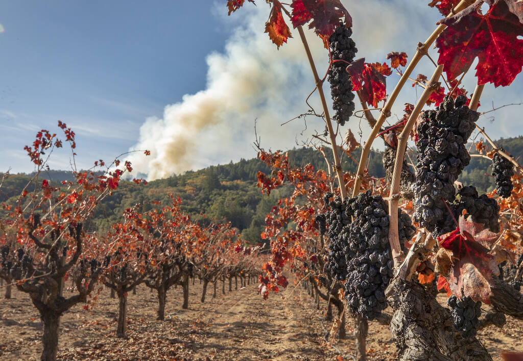 Unpicked grapes left on the vine after smoke damage from the August Walbridge fire in the Dry Creek Valley where an 11-acre prescribed burn sends up a column of smoke in the hills above on Thursday, Dec. 3, 2020.  (John Burgess / The Press Democrat)