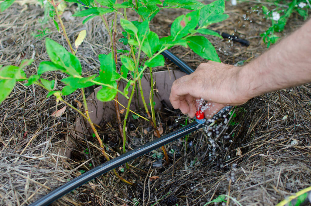 Repair or replacement of a dropper for watering. Close-up of a drip irrigation system. Water-saving drip irrigation system used in the organic garden. (Shutterstock)