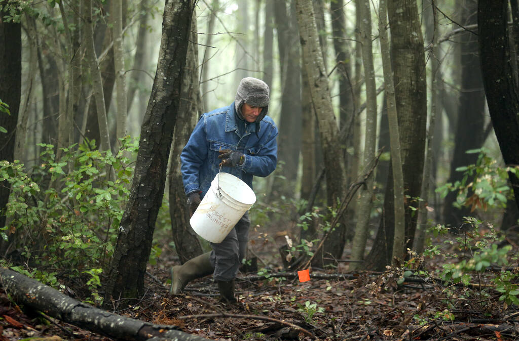 A volunteer waters newly planted redwood trees near Cazadero in 2017. (JOHN BURGESS / The Press Democrat)