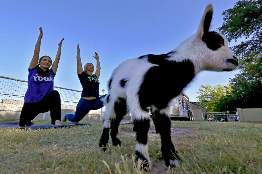 Visit Charlie's Acres in Sonoma for a session of goat yoga on Saturday, April 3. (Matt York / Associated Pres)