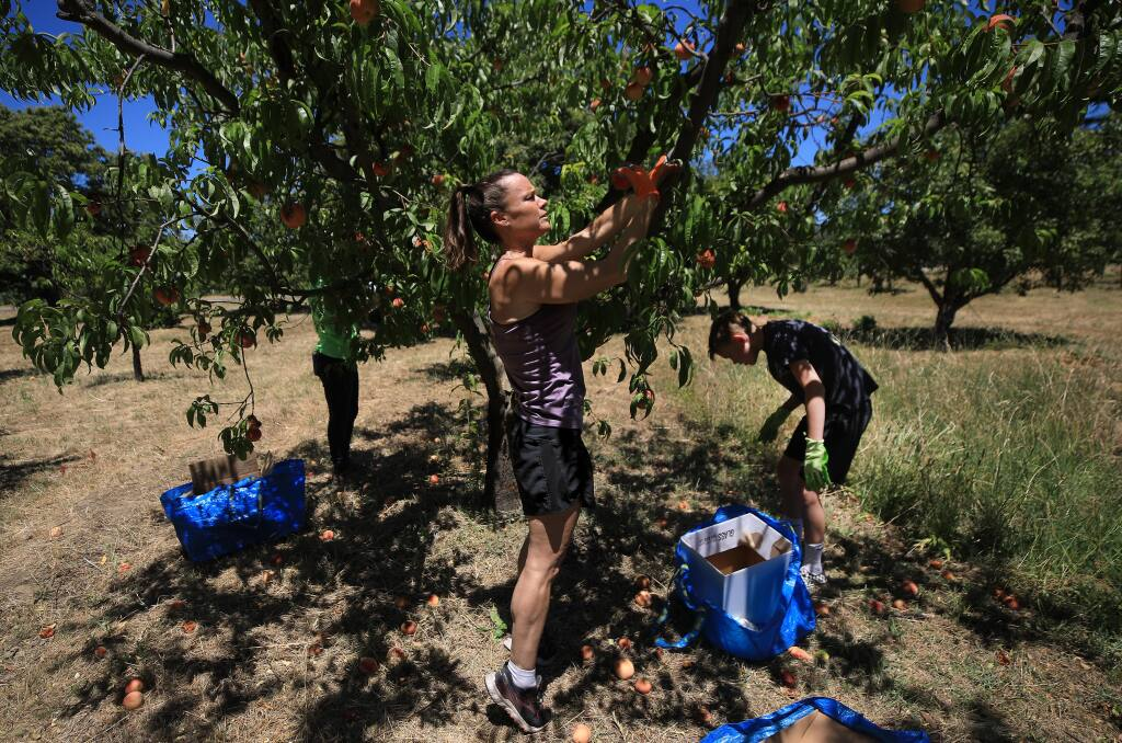 Kelly Conrad and her son Cooper, 12, pick peaches at a west Dry Creek ranch as part of the Farm to Pantry program, Friday, July 10, 2020.  (Kent Porter / The Press Democrat) 2020