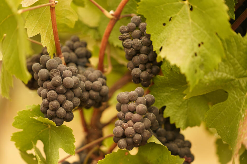 Grapes with ash on them hang in a vineyard that was blanketed by smoke from wildfires Thursday morning, Sept. 10, 2020, in Sonoma, Calif. (AP Photo/Eric Risberg)