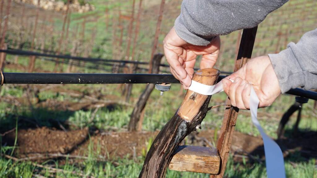 Marcelo Robledo of Grape Land Vineyard Management said 50% of his clients in 2020 relied on bud grafting to transform rootstocks with new varietals to adapt to climate change. (Grape Land Vineyard Management)