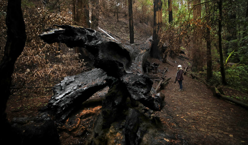 Michele Luna, executive director of the Stewards of the Coast and Redwoods, looks over the charred remains of the Fallen Giant redwood tree, damaged by the Walbridge fire, in the Armstrong Redwoods State Natural Reserve, Wednesday, March 10, 2021, near Guerneville. While the flat areas of the park remain green, the steep slopes are still blackened by the August 2020 fire.   (Kent Porter / The Press Democrat)
