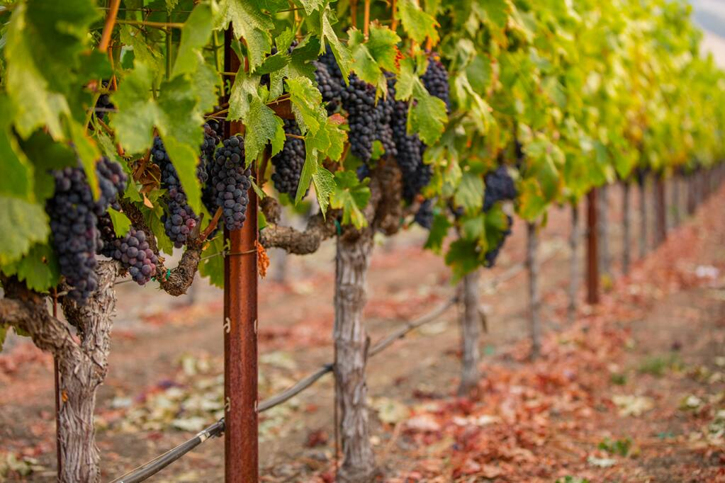 Rombauer Vineyards is looking to deploy the water-conservation lessons learned from the 2014-2015 drought to the predicted dry, hot season of 2021. (Wildly Simple Productions photo)