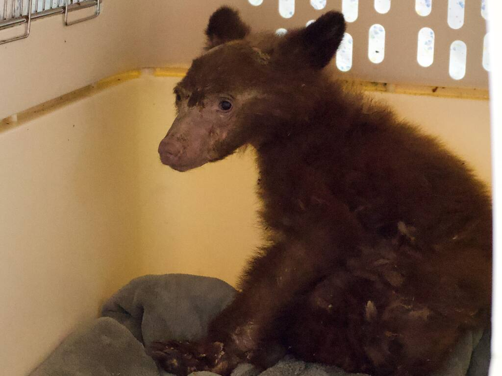 This male bear captured March 13 was one of two severely undersized yearlings found wandering alone in and around eastern Humboldt County in late February and early March 2021. They are among about 17 young American black bears that have turned up mostly in the Tahoe Basin since 2014 with a cluster of symptoms and brain inflammation from some unknown cause. (Humboldt Wildlife Care Center)