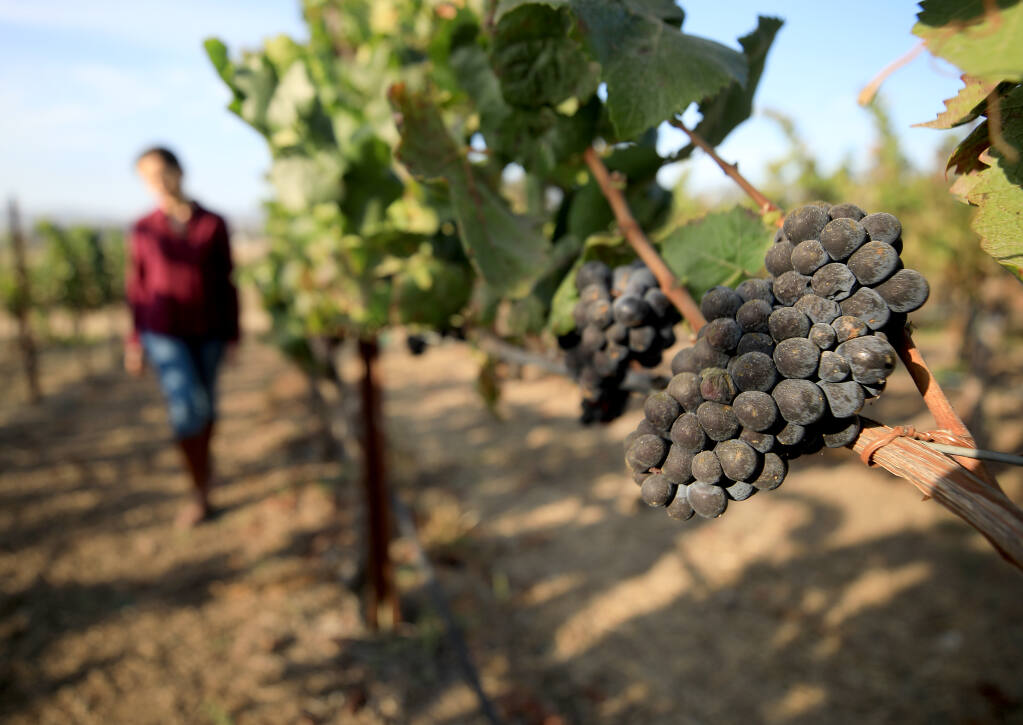 Diana Karren walks past shriveled and ash covered grapes at Terra de Promisio in Petaluma, Friday, Sept. 25, 2020. (Kent Porter / The Press Democrat) 2020