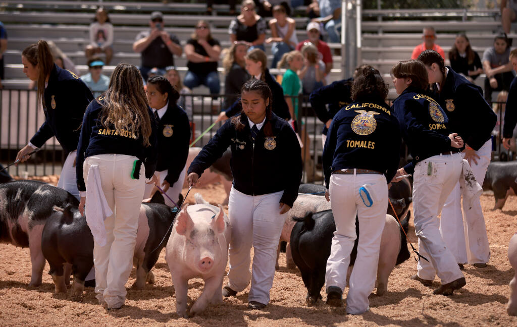Jocy Hernandez of the Santa Rosa FFA was one of over a dozen kids in the ring during the novice market hog  showmanship, Saturday, July 21, 2021 at the Sonoma County Fair in Santa Rosa.  (Kent Porter / The Press Democrat) 2021