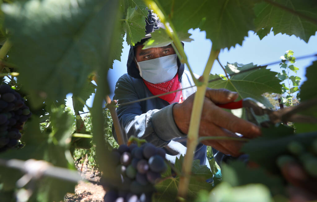 Isais Zamora wears a face mask while thinning fruit at Landmark Vineyards in Kenwood on Tuesday, July 28, 2020.  Lideres Campesinas, a farmworker support group, provides PPE to farmworkers to help protect them during the coronavirus pandemic .(Christopher Chung / The Press Democrat)