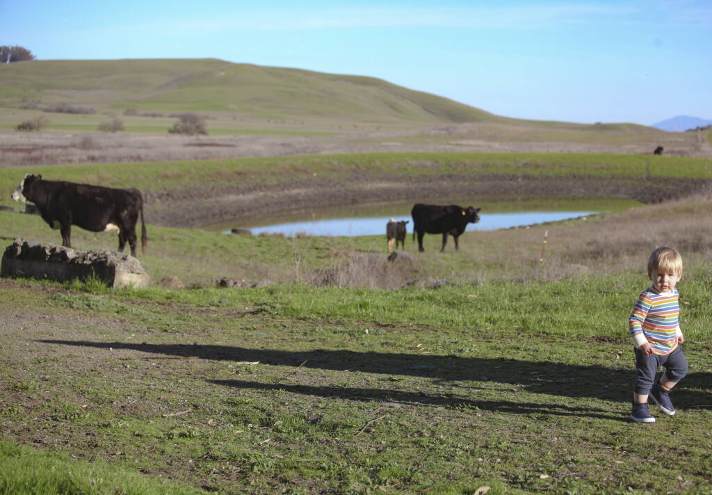 Visitors to Tolay Lake Regional Park in Petaluma share trails with the many grazing cows.(CRISSY PASCUAL/ARGUS-COURIER STAFF)