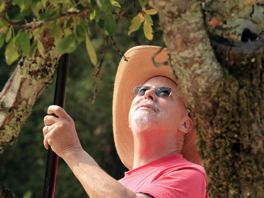 Former college president and art critic turned fruit farmer Charles Desmarais helps glean at a 110-year-old orchard at Jack London State Park on Friday, Aug. 13, 2021. (Christian Kallen/Index-Tribune)