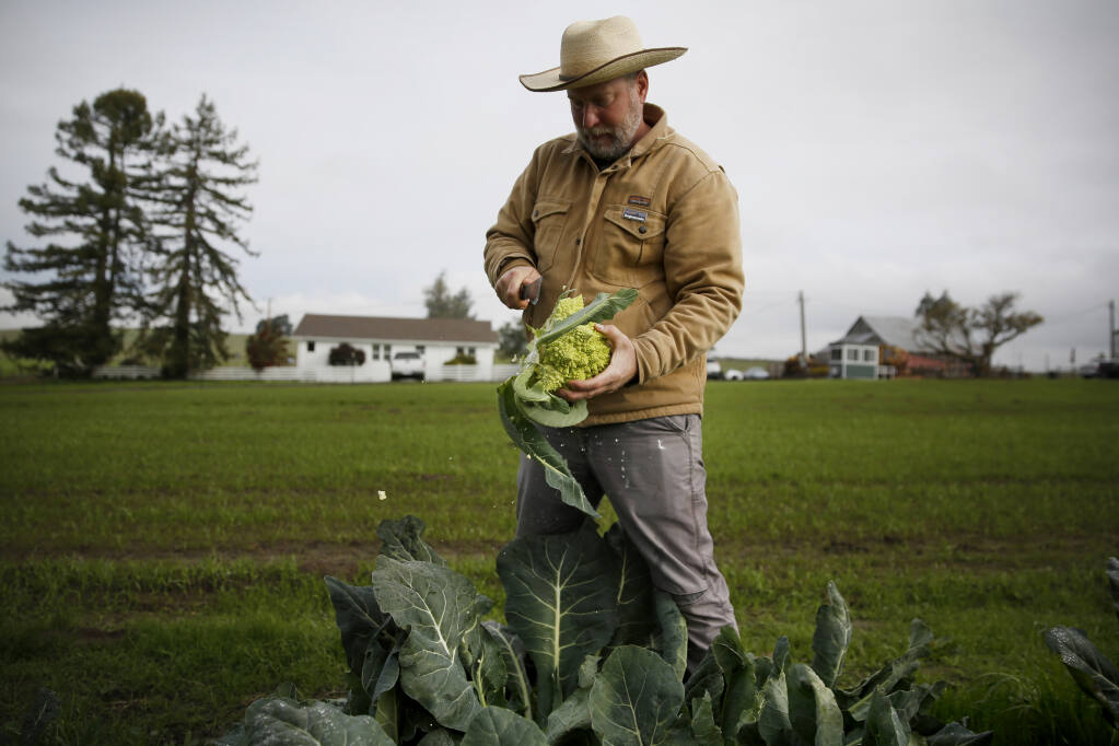 Aaron Keefer, vice president of cannabis cultivation and production, picks red cabbage and Romanesco broccoli in the vegetable garden at Sonoma Hills Farm in Petaluma, California, on Thursday, Jan. 7, 2021. (Beth Schlanker/The Press Democrat)