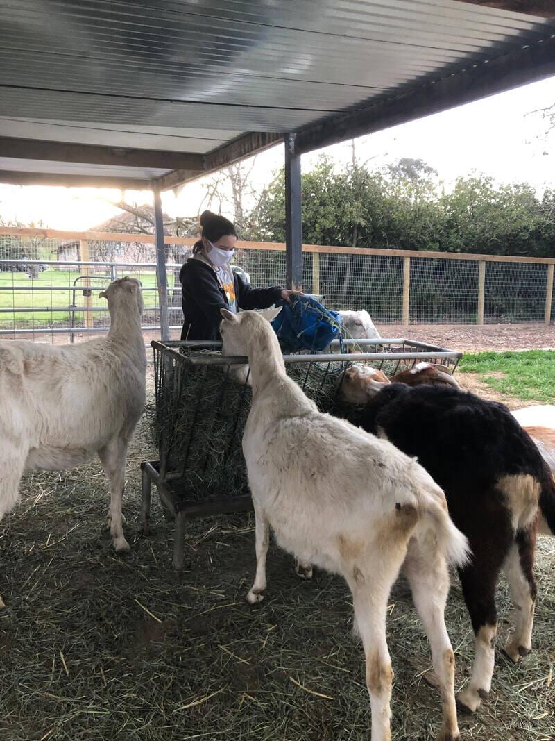 Casa Grande graduate Emma Di Coto chose for her Senior Project to volunteer at the Goatlandia Animal Rescue Sanctuary. (PHOTO FROM EMMA DI COTO'S WEBSITE)