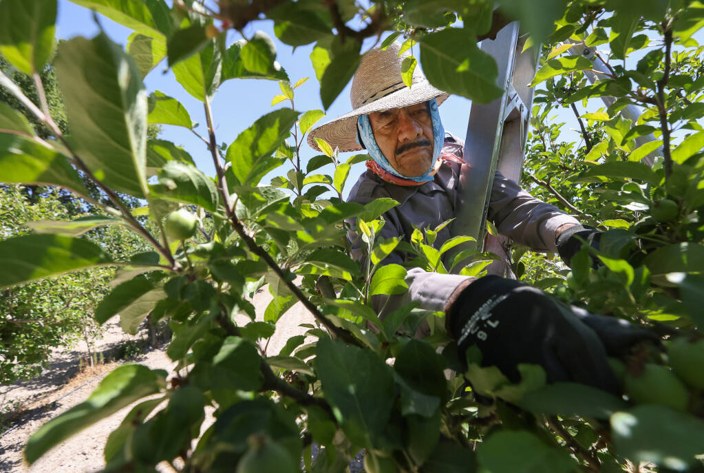 Antonio Vargas Mendes thins fruit from an apple tree at Devoto Gardens & Orchards near Sebastopol on Thursday, June 10, 2021.  (Christopher Chung/ The Press Democrat)