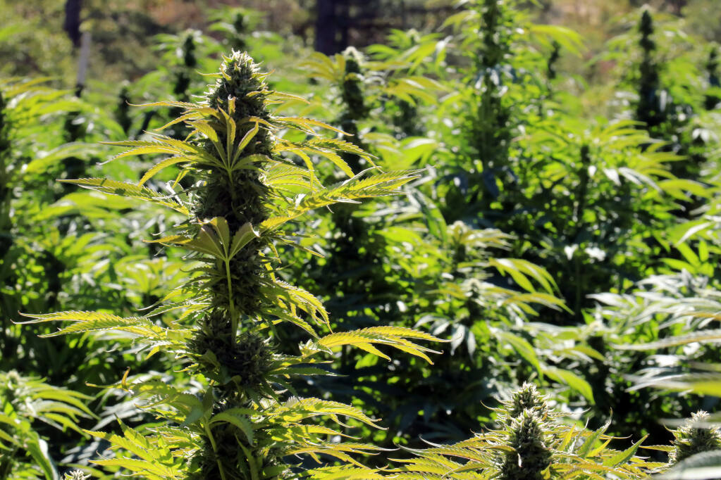 Outdoor cannabis grow in the Mayacamas Mountains, Sonoma County,  Sept. 22, 2021. (Christian Kallen / Sonoma Index-Tribune)
