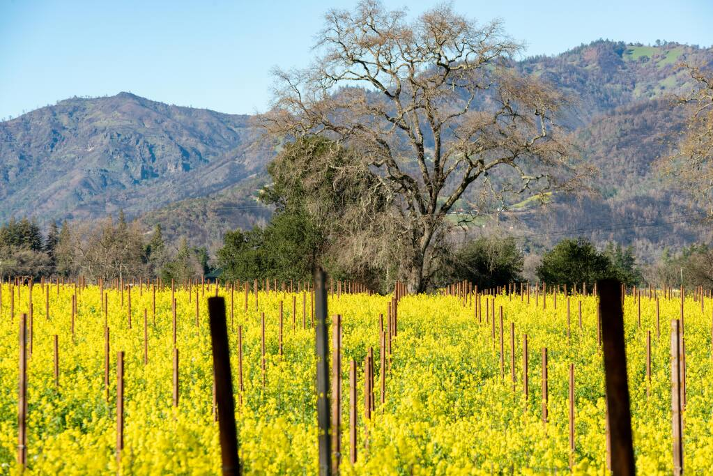 Oak tree in mustard among grape stakes. (Photo courtesy of LeBallister's)