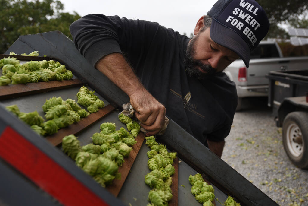 Scott Bice checks on fresh hops coming out of his 1973-built harvester machine manufactured in Germany, at Redwood Hill Farm and Creamery in Sebastopol on Sept. 2. (Erik Castro/For The Press Democrat)