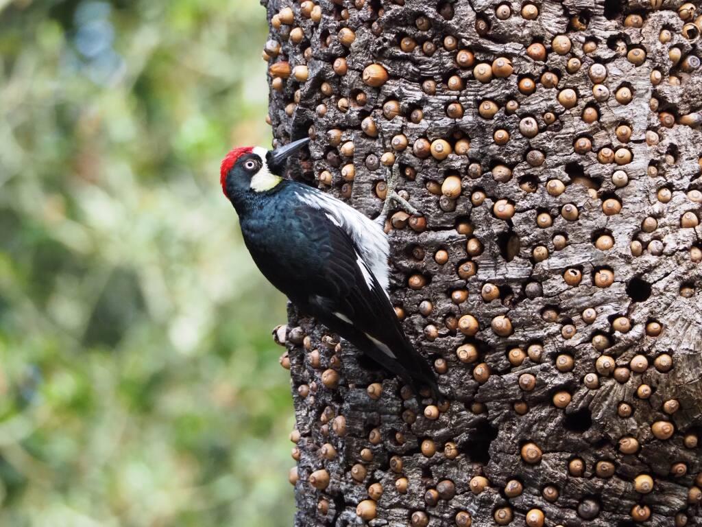 Acorn woodpecker (Tom Reynolds)