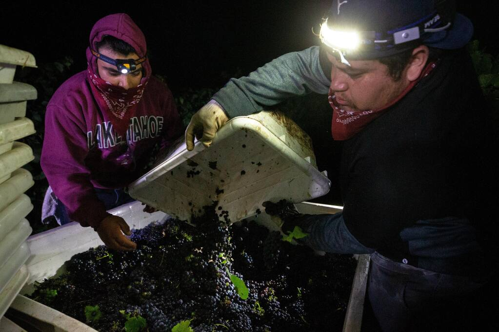 Jimmy Ortiz, left, removes stray leaves from a quarter-ton bin while Obet Ortiz pours in more pinot noir grapes while their vineyard crew harvests the vines at Sasaki Vineyards in Schellville, California, on Wednesday, August 5, 2020. (Alvin A.H. Jornada / The Press Democrat)
