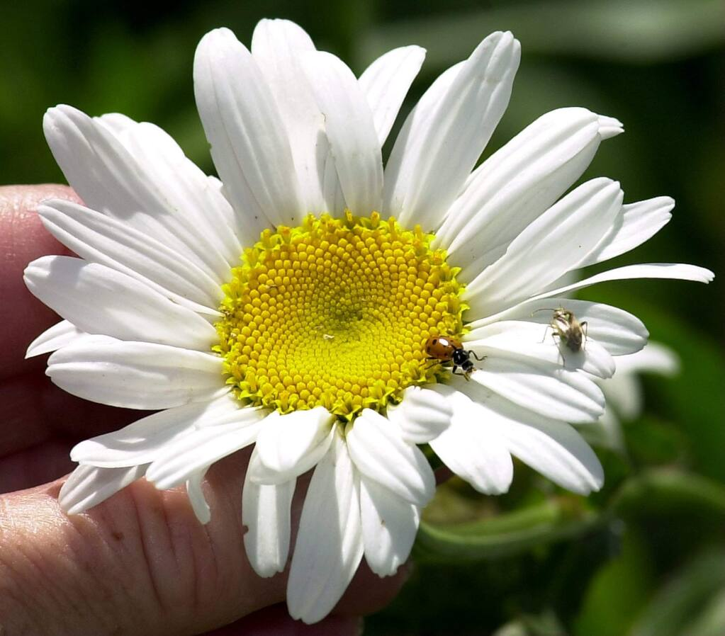 Shasta daisies are among the perennials you should divide now. (Press Democrat file)